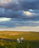 Renos de Laponia Imágenes de archivo libres de regalías