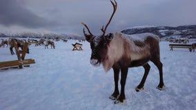 Renos en el campo de Sami del invierno almacen de metraje de vídeo