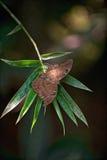 Renouvellement : Papillon de Brown au repos Images stock
