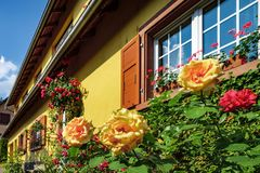 Renovated windows in old village house. Blooming roses, summer d Stock Photos