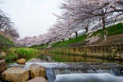 Rent vatten och sakura blomma Royaltyfri Foto
