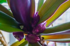 Reo en exotisk blomma, familjen Commelinovy, har ett utstående utseende, frodiga former fotografering för bildbyråer
