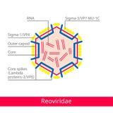 Reoviridae Ταξινόμηση των ιών απεικόνιση αποθεμάτων