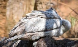 Repérez le pélican affiché Photo libre de droits