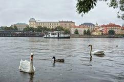 República Checa Cisnes en el río de Moldava en el fondo Charles Bridge 17 de junio de 2016 Foto de archivo libre de regalías
