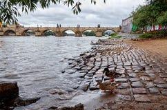 República Checa Patos en el río de Moldava en el fondo Charles Bridge 17 de junio de 2016 Imagen de archivo libre de regalías