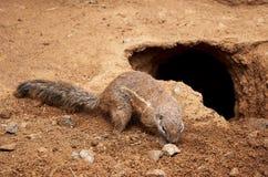 República checa praga Jardim zoológico de Praga Esquilo à terra 12 de junho de 2016 Imagens de Stock
