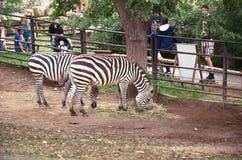 República Checa praga Parque zoológico de Praga Cebras 12 de junio de 2016 Imagen de archivo libre de regalías