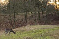 rep заповедника игры чехословакских оленей залежный Стоковое Изображение