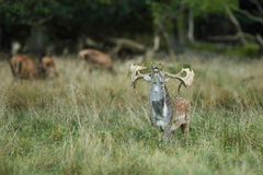 rep заповедника игры чехословакских оленей залежный Стоковые Изображения