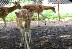 rep заповедника игры чехословакских оленей залежный Стоковая Фотография