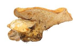 Repandum de Hyndum de champignon de couche de hérisson Images stock