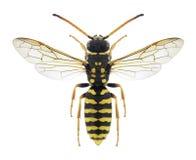 Repandum di Polochrum della vespa Fotografia Stock Libera da Diritti