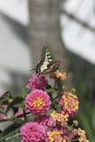 Repas de papillon images libres de droits