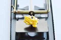 Repassez l'amorce de piège de rat par la graine de maïs sur le fond blanc Photographie stock