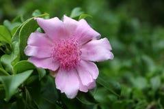 República Dominicana Rosa Fotografia de Stock