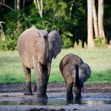 Repeat for mum. The African Forest Elephant (Loxodonta cyclotis) is a forest dwelling elephant of the Congo Basin stock image