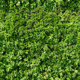Repeat pattern of gardern hedge Stock Image