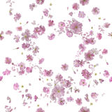 Repeatable Ornamental Sakura Blossom Breeze. Repeatable floral breeze of 92 different ornamental sakura blossoms and petals, studio photographed and isolated on Stock Photography