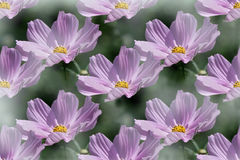 Repeating pattern of  purple Cosmos flower Royalty Free Stock Image
