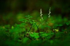 Repens del Goodyera, Ladys-trenzas del arrastramiento, Augustw, Polonia Orquídea salvaje terrestre europea en ingenio del hábitat Foto de archivo
