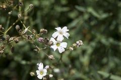 Repens do Gypsophila Imagens de Stock Royalty Free