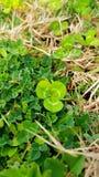 Repens do Trifolium Imagens de Stock Royalty Free