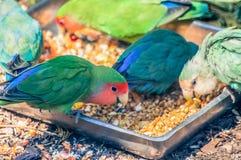 Repete mecanicamente a apreciação de sua refeição que consiste no tipo diferente das sementes no parque zoológico imagens de stock