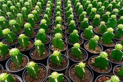 Free Repetition Of Cactus Stock Image - 210866921