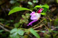 Repita mecánicamente la flor, psittacina de Impatiens, bálsamo del loro Fotos de archivo libres de regalías