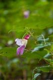 Repita mecanicamente a flor da vela na montanha superior, Tailândia Fotografia de Stock