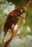 Repita mecanicamente o Lory de Brown, duivenbodei de Chalcopsitta, Papua ocidental, Indonésia Imagens de Stock Royalty Free