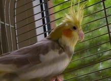 Repita mecanicamente o pássaro cinzento do korella, animal de estimação, animal, penas, korella, retrato, branco, bico, natureza Foto de Stock Royalty Free
