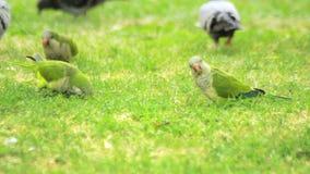 Repite mecánicamente los pájaros que comen la hierba verde Loros verdes de la multitud que caminan en hierba metrajes