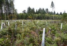 Free Replanted Forest After Clear-cut Logging Stock Image - 96344581