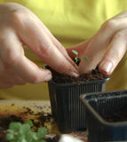 Replanting. Woman replanting pansy seedling in small container Royalty Free Stock Photos