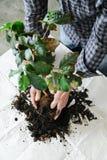 Replanting av houseplanten Royaltyfri Foto