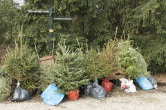 Replanting Christmas trees. Stock Photography