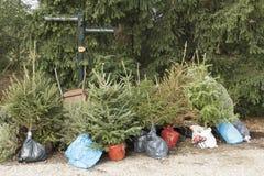 Replanting Christmas trees. Stock Photography