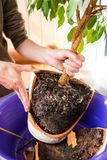 Replanting domestic plants stock photography