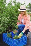 Replanting floral seedlings Royalty Free Stock Image