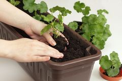 Replanting of Geranium seedlings. Focused on hand with a plant of pelargonium royalty free stock photo