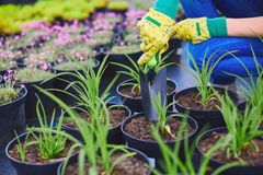 Replanting green seedlings Royalty Free Stock Photo