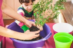 Replanting home flowers. The boy helps his mother to plant plants in a pot. A child learns to care for indoor plants. Woman. Teaches son to work with royalty free stock image