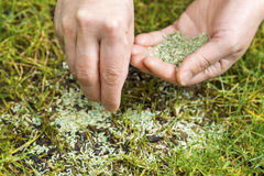 Replanting New Grass Seed. Horizontal position of Female hands holding new grass seed with bare earth soil and old grass beneath as background royalty free stock image