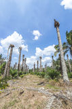 Replanting oil palm Royalty Free Stock Photo