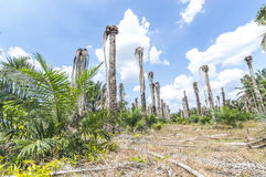 Replanting oil palm Stock Photos