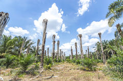 Replanting oil palm Royalty Free Stock Photography
