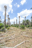 Replanting oil palm Stock Images