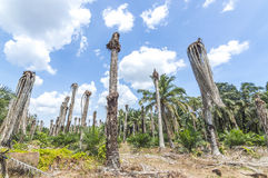 Replanting oil palm Royalty Free Stock Images